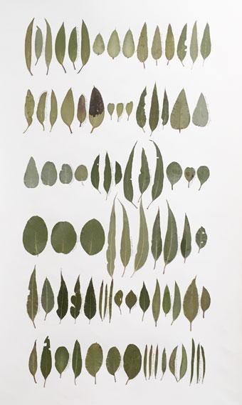 Eucalyptus Leaf Drawing 3