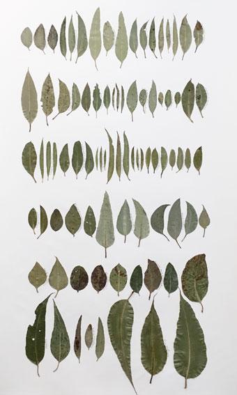 Eucalyptus Leaf Drawing 4