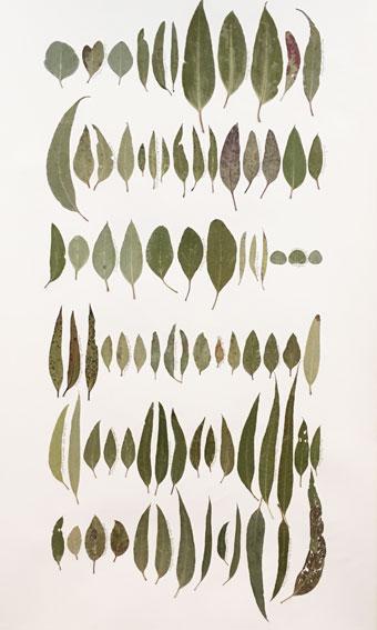 Eucalyptus Leaf Drawing 5