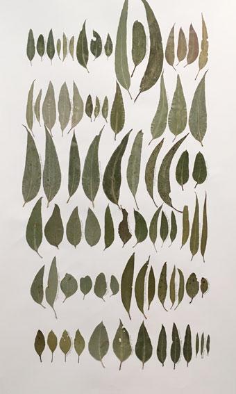 Eucalyptus Leaf Drawing 6
