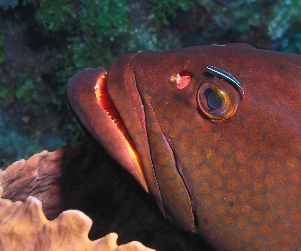 Grouper, Roatan