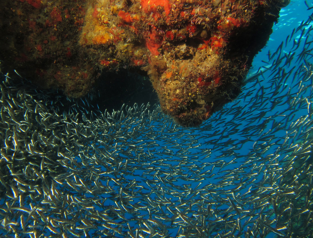 Famous Silversides in Blue Channel, West End, Roatan