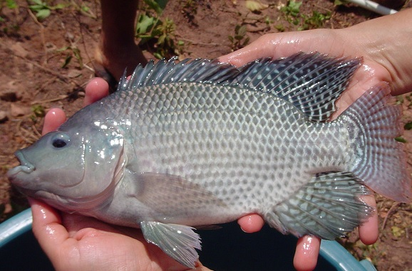 Blue nile tilapia are commonly used in aquaponic systems.