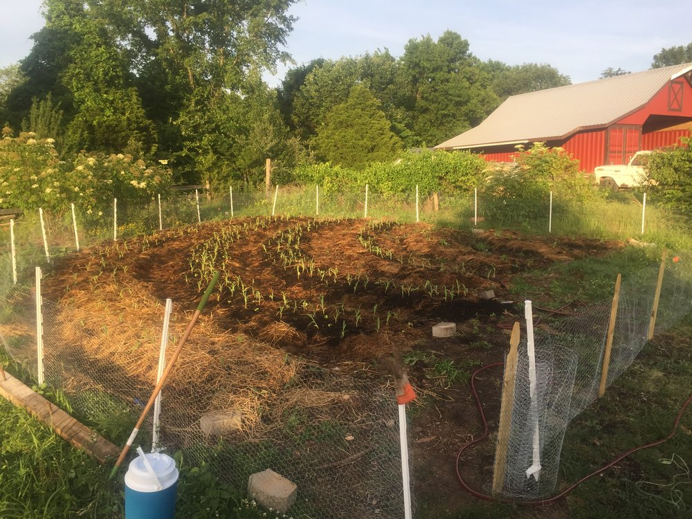 Transplanting the south half of the Garden.