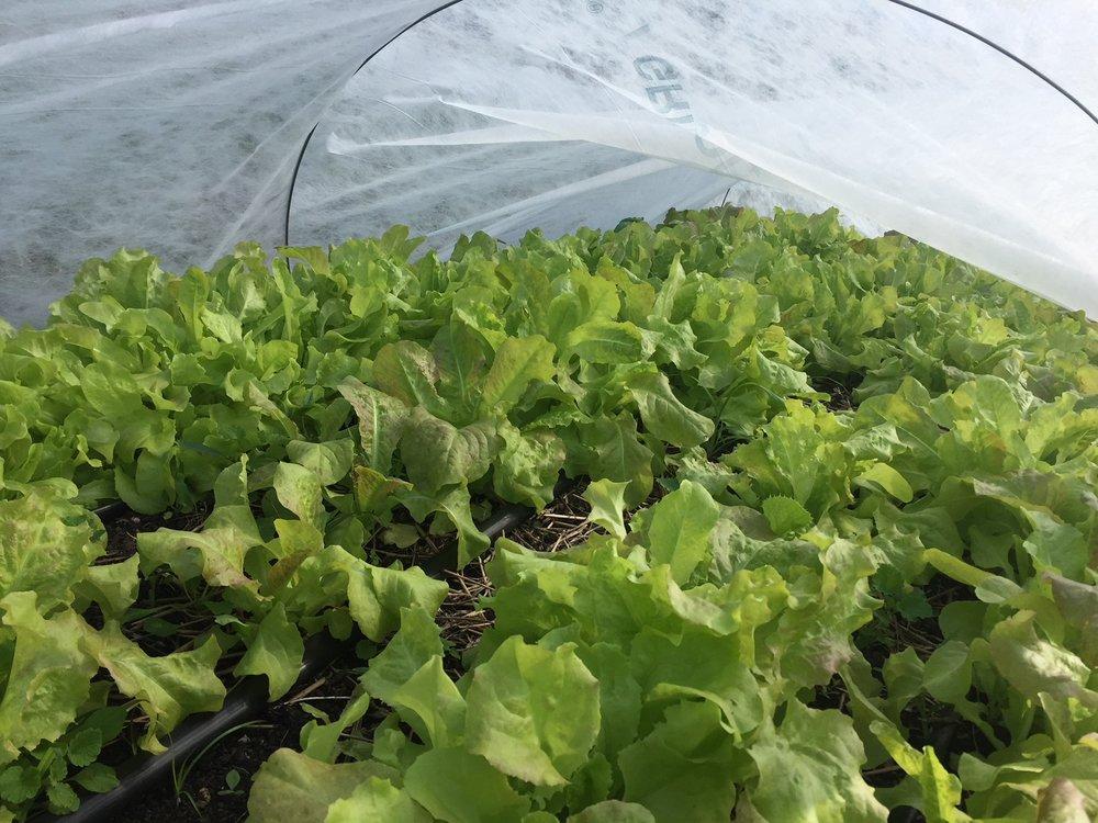 Lettuce Bed 10:14.JPG