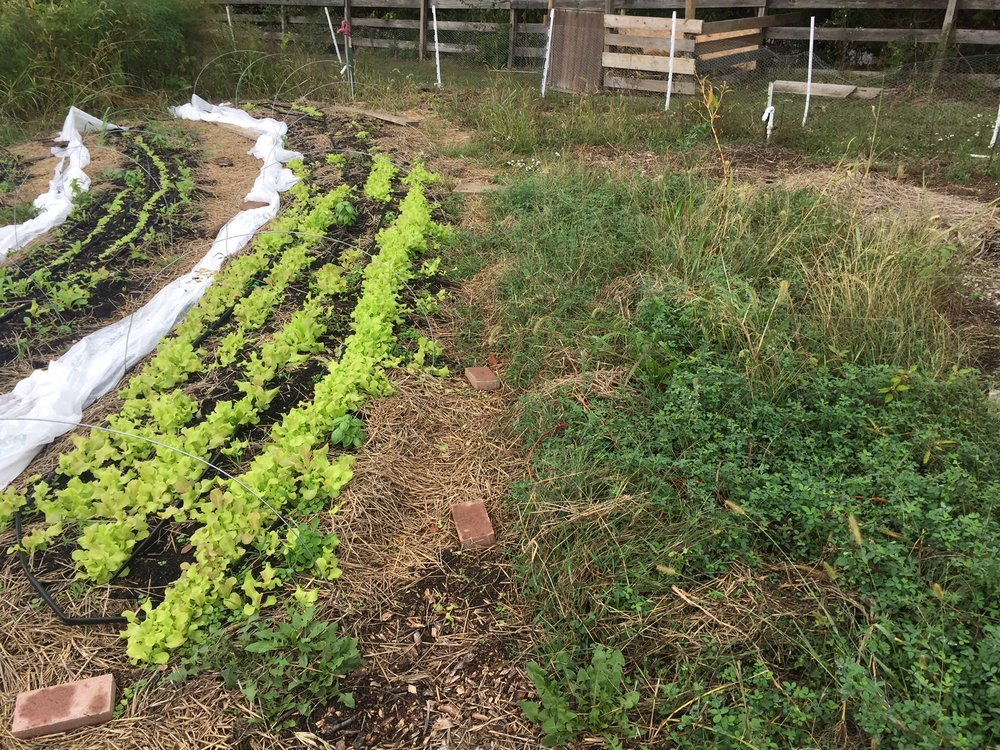 Leaf Lettuce next to alfalfa.JPG