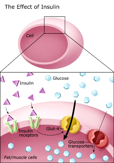 Papel principal da insulina