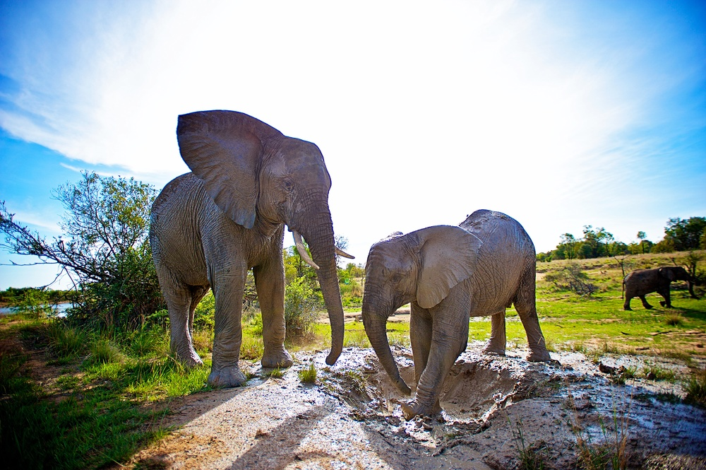 African Elephant (Loxodonta africana), Waterberg  004.jpg