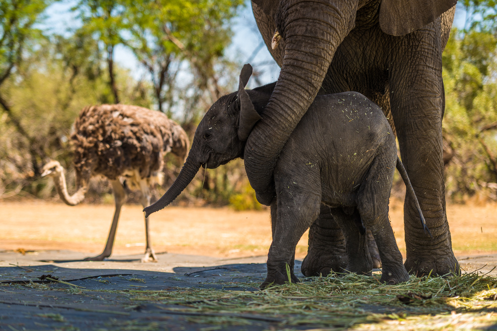Little Zambezi is well protected by his mother Shan and his surrogate mother, Nuanedi