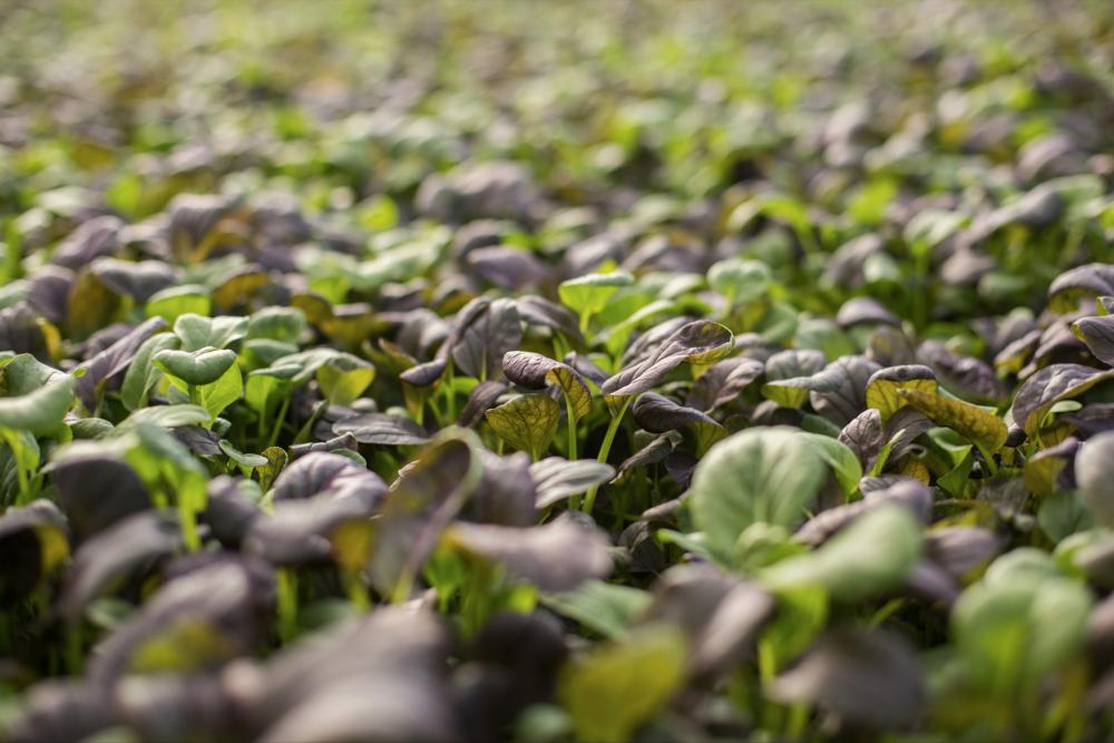 lef-farms-greens.jpg8.png