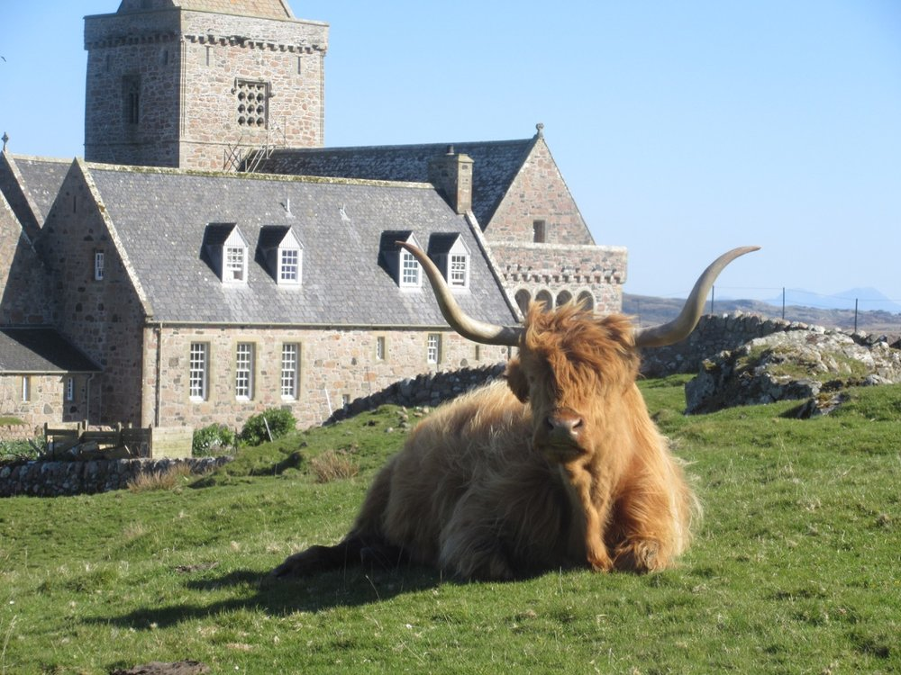 A Holy Highland Cow in the environs of the Abbey