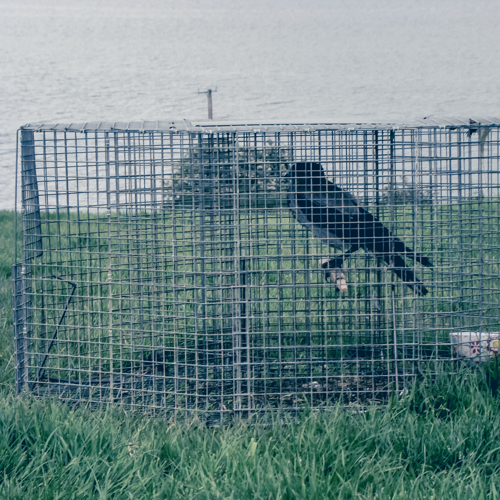 Set Larson trap with hooded crow.jpg