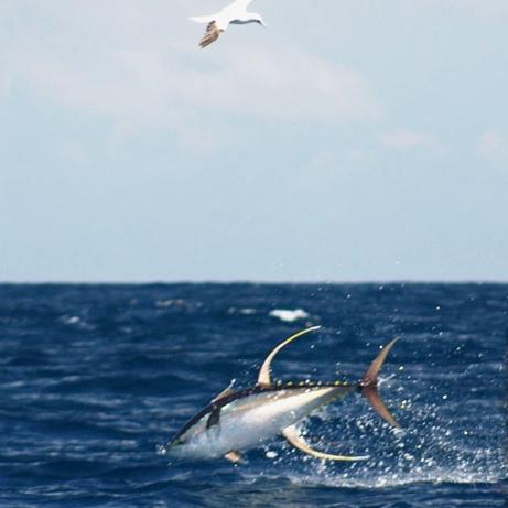 Yellowfin_tuna_diving.jpg