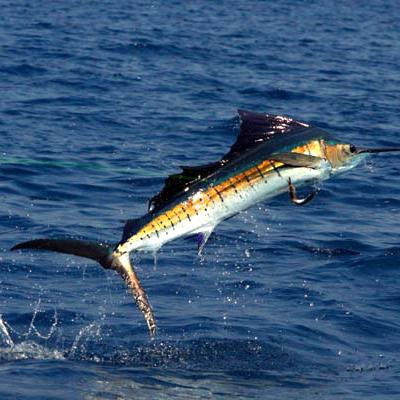 sailfish_jump_cvl_april2010_mg_7840web-use-only.jpg