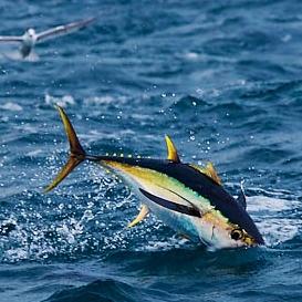 yellowfin-tuna-38M1085-06.jpg