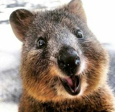 quokka happiest animal