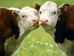 cows bff