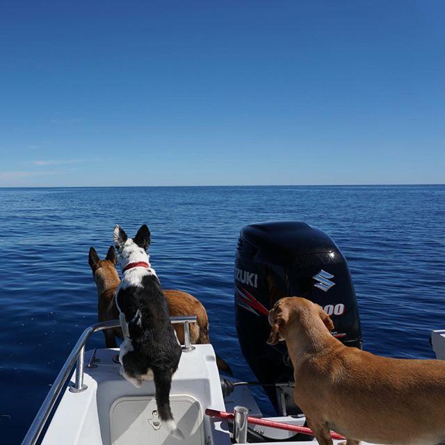 Who's that? #boatdog #dogsofinstagram #loscabos #bassfishing #loscabos #visitmexico #indigoadventures