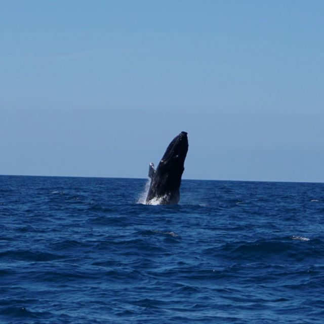 Humpbacks at play! #humpbackwhale #whalewatching #loscabos #visitmexico #indigoadventures