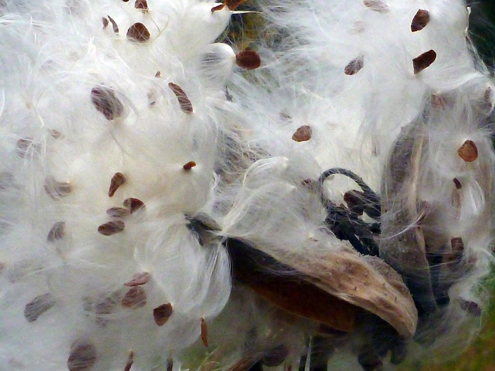 Bursting milkweed pods can be seen just about everywhere this time of year! Dave Kraus /  krausgrafik.smugmug.com