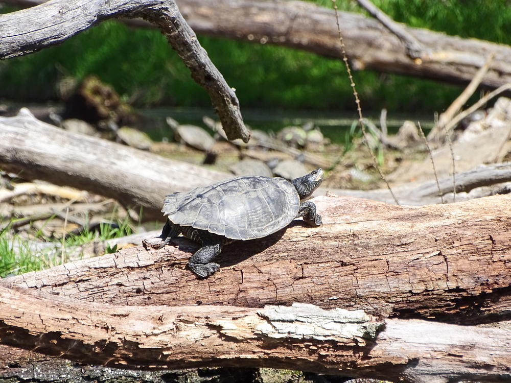 A map turtle warming itself in the sun along the Kayaderosseras Creek.  Alan Mapes