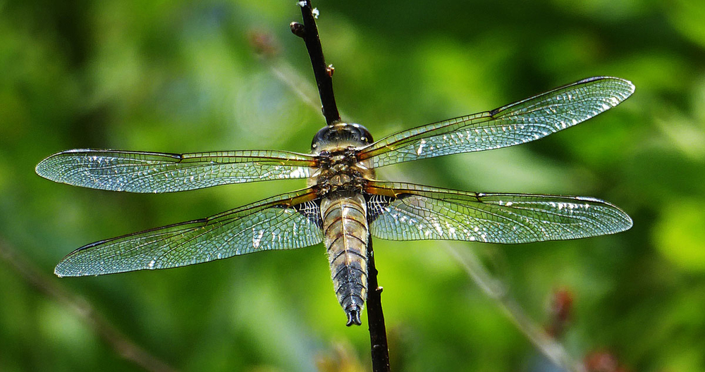 A dragonfly alights on a branch along the Cedar River, deep in the forest.  © Dave Kraus/ Krausgrafik.com