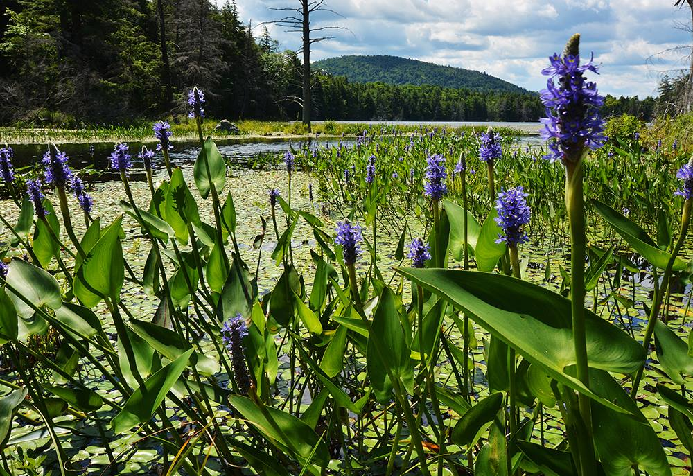 Pickerelweed in the Essex Chain Lakes area near Newcomb.   Dave Kraus