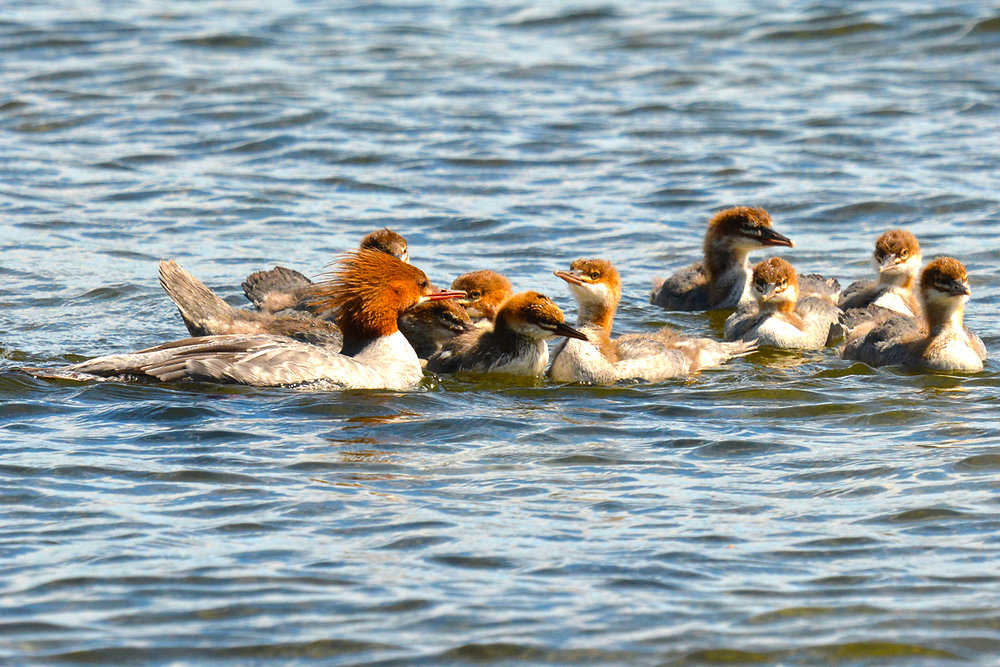 A family of common mergansers along the shore. Mama is trying to keep order with a rowdy group of youngsters. Michael Kalin