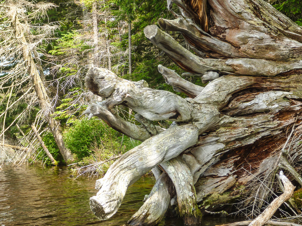Roots of a huge fallen pine. Alan Mapes