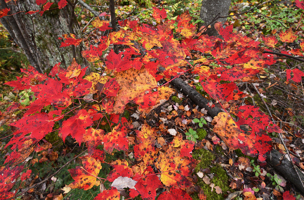 Foliage on trail_1306.JPG