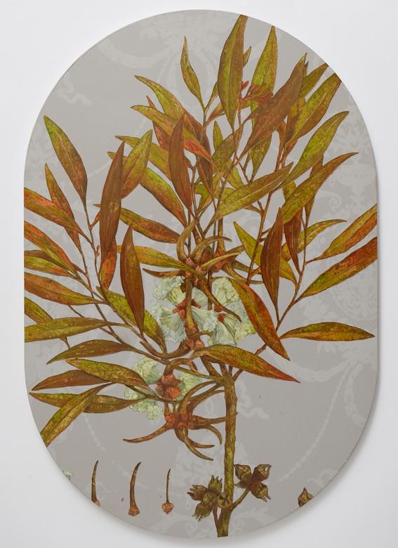 Eucalyptus cornuta, after Redouté copy.jpg