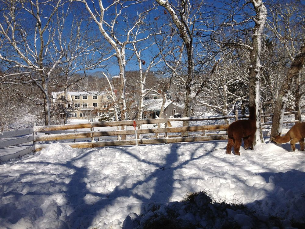 Snowy Alpaca Scen.jpg