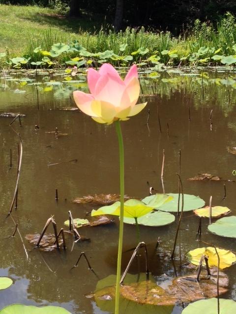 Reaching Lotus 2.jpg