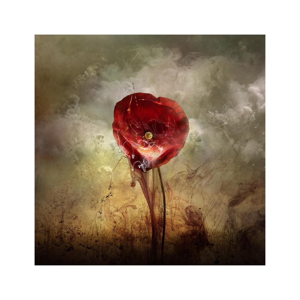 War Poppy 4, 2015
