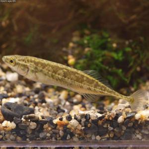 An Amur stickleback. Wikimedia Commons