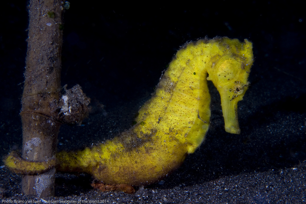 Photo: Bruno Van Saen/Guylian Seahorses of the World