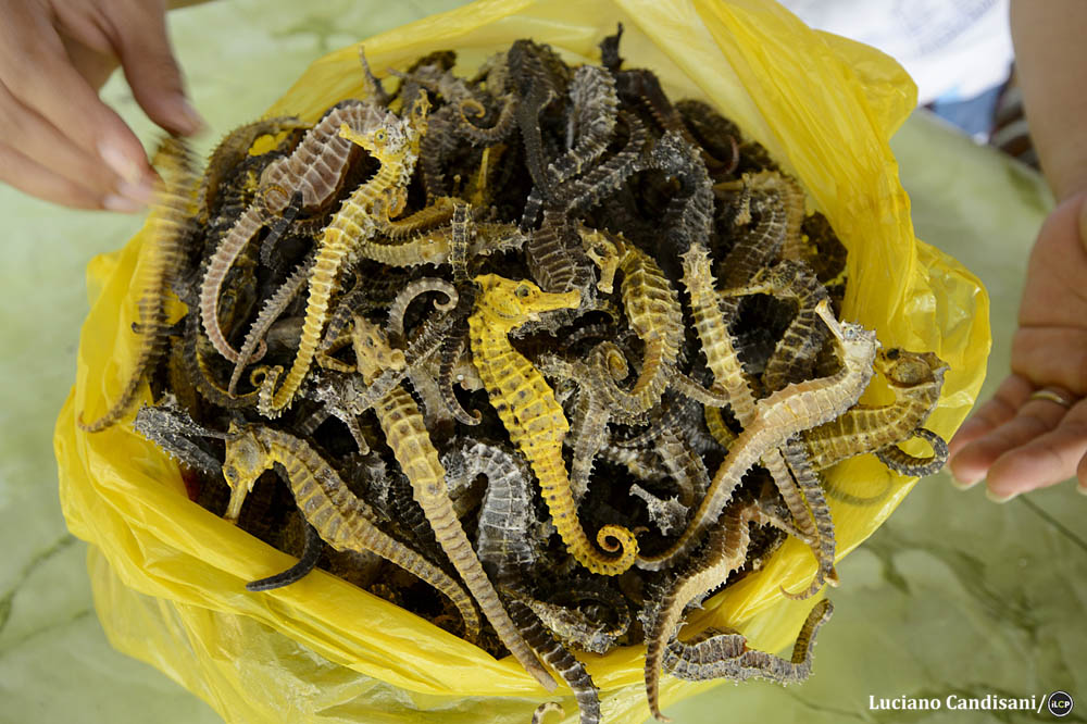 Seahorses are valuable global commodities. Luciano Candisani/iLCP