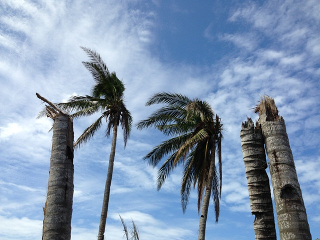 Damaged coconut trees.  Photo: Heather Koldewey/ZSL