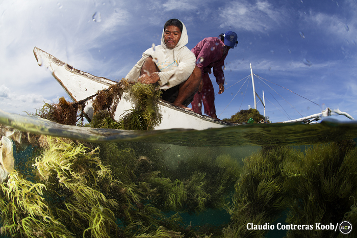 A seaweed farmer pulls his crop into an outrigger boat.
