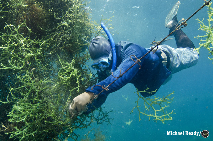A diver secures seaweed to a line.