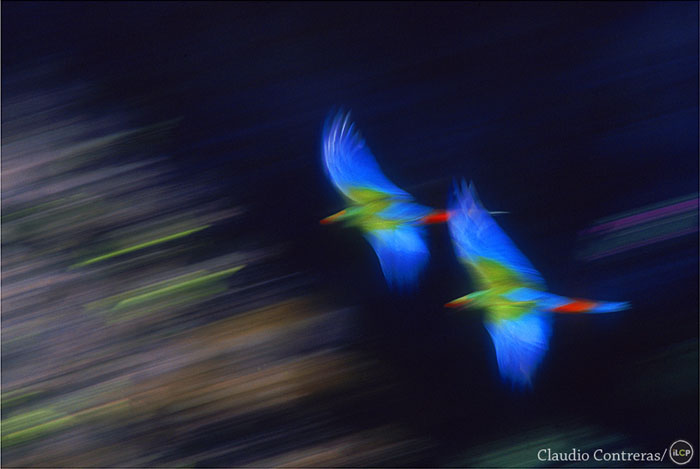 Military macaws in flight. Tehuacan, Mexico.