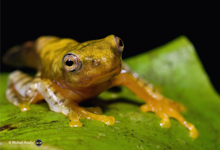 Javan gliding frog (Rhacophorus margaritifer), West Java, Indonesia.