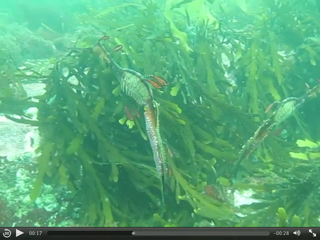 Click the image to watch weedy seadragons disappear into their habitat. Video: Keith Martin-Smith/Project Seahorse