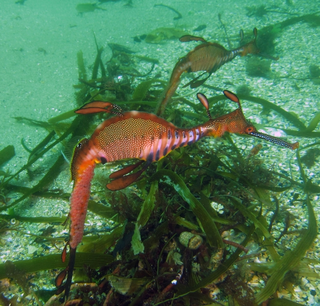 A pair of male seadragons. Eggs are visible on their brood patch on their tails.  Photo: Keith Martin-Smith/Project Seahorse