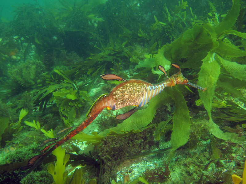 A weedy seadragon swimming above a kelp bed. Seadragons inhabit seagrasses, kelp beds and rocky coral reefs.  Photo: Keith Martin-Smith/Project Seahorse