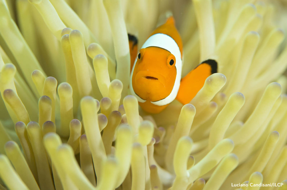 A clownfish (  Amphiprion sp.  ) swims among anemone.   Luciano Candisani/iLCP