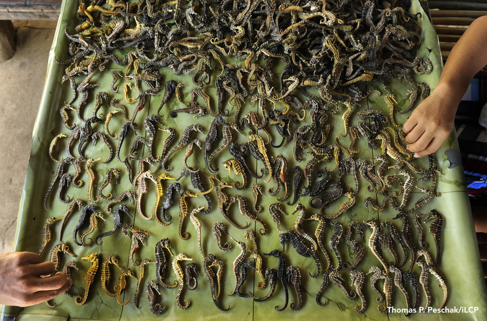 Though local law restricts their capture, seahorses are a valuable commodity for local fishers. The animals are dried and exported to China and across Asia as ingredients in traditional medicine. The global trade totals in the tens of millions of animals per year.  Thomas P. Peschak
