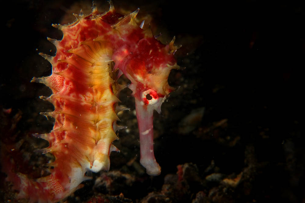 Guylian Seahorses of the World