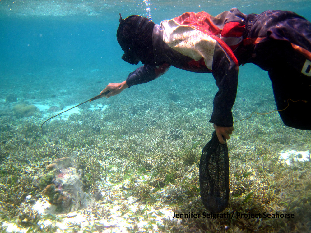 A diving fisher using a thin iron rod to break apart coral as he searches for abalone (in the local language this method is called kaykay).