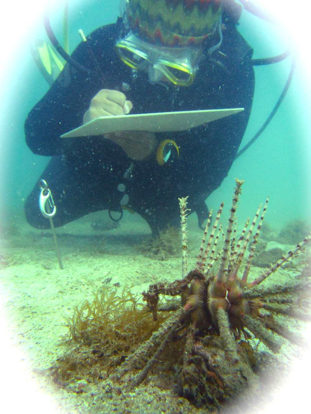 We started fieldwork on a quest to identify where seahorses lived along Thailand's coast. Here our assistant notes the observation of  Hippocampus spinosissimus  also called the hedgehog seahorse for its irregular spines, hanging onto a pencil urchin.
